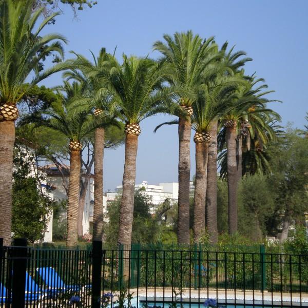 Taille palmier phoenix