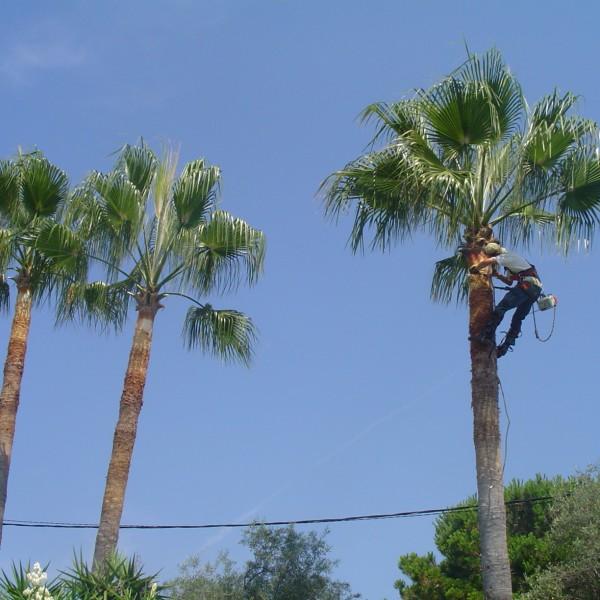 Taille palmier washingtonia